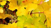 Pfalz vineyard — Foto Stock