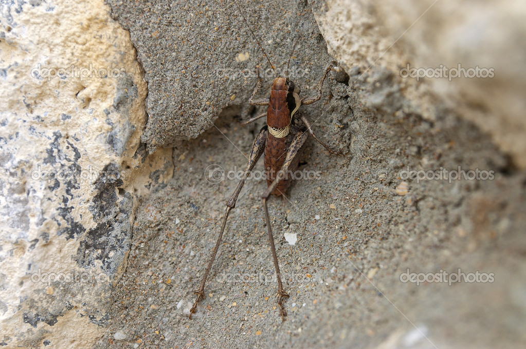 The grasshopper is an insect of the suborder Caelifera in the order Orthoptera. To distinguish it from bush crickets or katydids, it is sometimes referred to as the short-horned grasshopper — Stock Photo #12288417