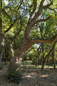 Cork oak, Quercus suber — Stock Photo