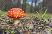 Amanita. Red Mushroom . — Foto de Stock