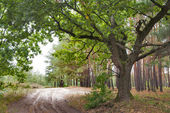 Old oak and forest road — Stock Photo