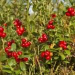 Bush of wild cowberries. — Stock Photo