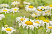 Daisies. Summer. — Stock Photo