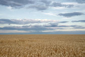 Endless wheat field — Stock Photo