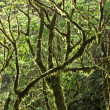 Mossy Rainforest Canopy — Stock Photo #13838269