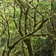 Mossy Rainforest Canopy — Stock Photo