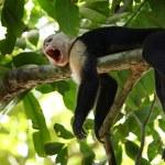 Capuchin Monkey — Stock Photo #13838288