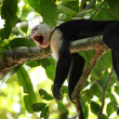 Capuchin Monkey — Stock Photo