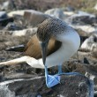 Stock Photo: Blue-footed Booby (Sulnebouxii)