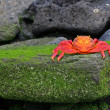 Sally Lightfoot Crab (Graspus Graspus) — Stock Photo #13852241
