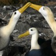 Stock Photo: Waved Albatross (Phoebastriirrorata)