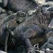 Royalty-Free Stock Photo: Galapagos Marine Iguana and Baby