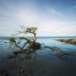 Old Gnarled Mangrove Tree — Stock Photo #13852822