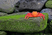 Sally Lightfoot Crab (Graspus Graspus) — Stock Photo