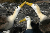 Waved Albatross (Phoebastria irrorata) — Stock Photo