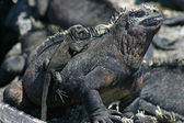 Galapagos Marine Iguana and Baby — Stock Photo