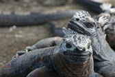 Two Galapagos Marine Iguanas — Stock Photo