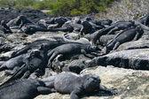 Galapagos Marine Iguanas — Stock Photo