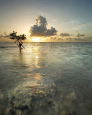 Mangrove Tree at Sunrise — Stock Photo