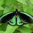 Green butterfly on leaves, species Birdwing Butterfly (Ornithopterpriamus) — Stock Photo #24424785