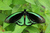 Green butterfly on leaves, species Birdwing Butterfly (Ornithoptera priamus) — Stock Photo