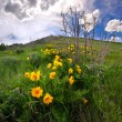 Beautiful yellow wildflowers in Rocky Mountains in spring — Stock Photo #26538491