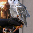 Barn Owl named Twilight — Stock Photo #12911344