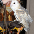 Stock Photo: Barn Owl named Twilight
