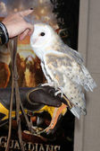 Barn Owl named Twilight — Stock fotografie