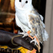 Barn Owl named Twilight — Stock Photo