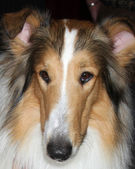 Lassie at the USPS Stamp Unveiling of Stamps honoring Early Television Memeoris at the TV Academy in No Hollywood, CA on August 11, 2009 — Stok fotoğraf