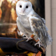 Barn Owl named Twilight — Stock Photo #13024179