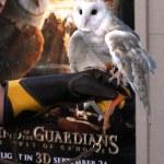 Barn Owl named Twilight — Stock Photo #13072272