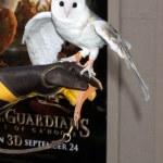Barn Owl named Twilight — Stock Photo #13093554
