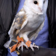 Barn Owl named Twilight — Stock Photo #13104822
