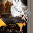 Barn Owl named Twilight — Stock Photo #13110859