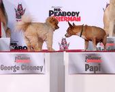 George clooney al perro, papi — Foto de Stock