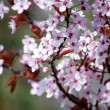 Spring Cherry — Stock Photo #12233946