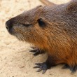Furry nutria — Stock Photo