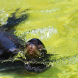Fur seal — Stockfoto