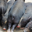 图库照片: Sleeping sucking pigs