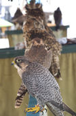 Falconry exhibition — Stock Photo