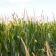 Cornfield — Stock Photo #32984543