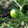 green tomato — Stock Photo
