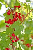 Ripe red currants hanging from bush ready for harvest. — Stock Photo