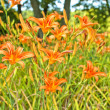 Stock Photo: Orange Lily Flower Background