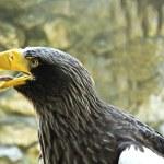 Retrato del águila — Foto de Stock