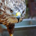 Портрет орла — Стоковое фото