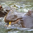 Two hippos — Stock Photo