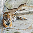 Stock Photo: Beautiful Asitiger